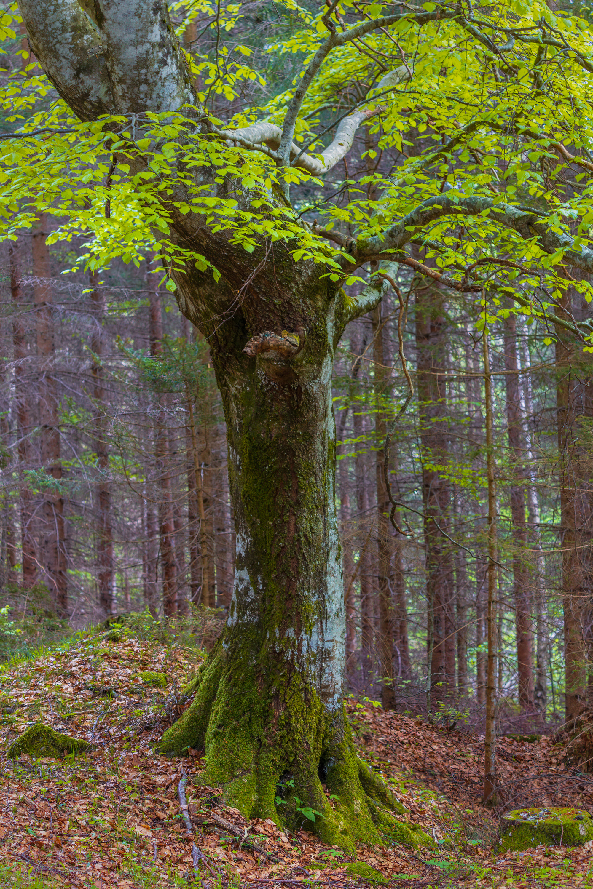 Hiking, Wild Camping & Alpenglow : old beech tree with fresh leaves