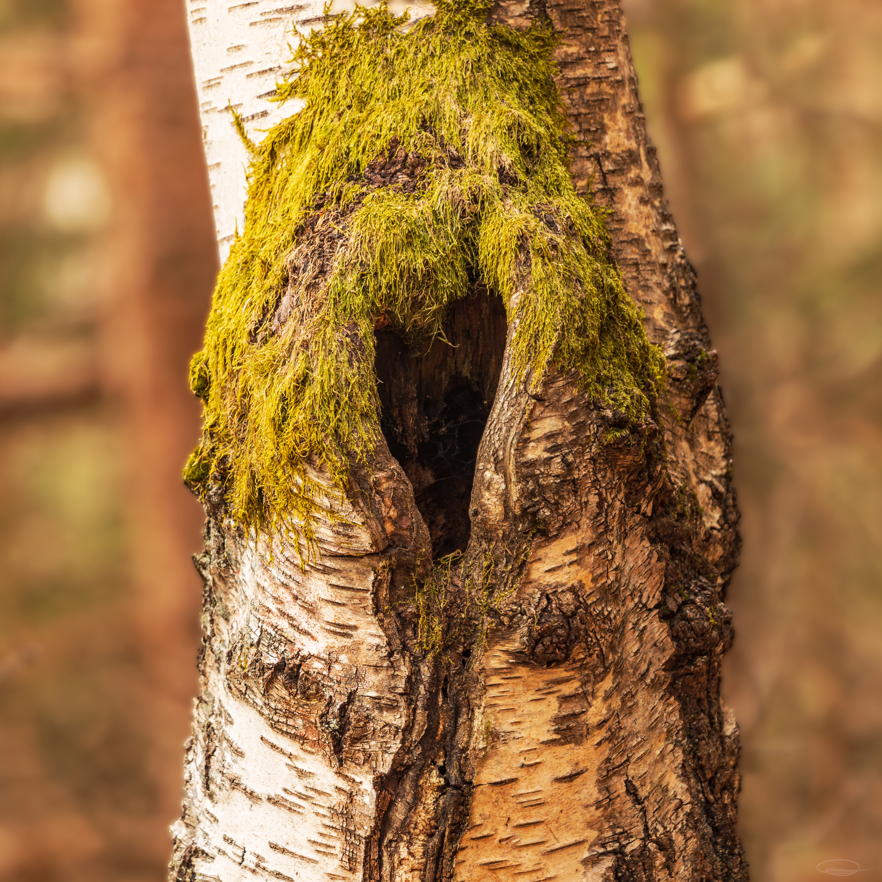 Lake Forstsee: Birch tree with heart-shaped knothole