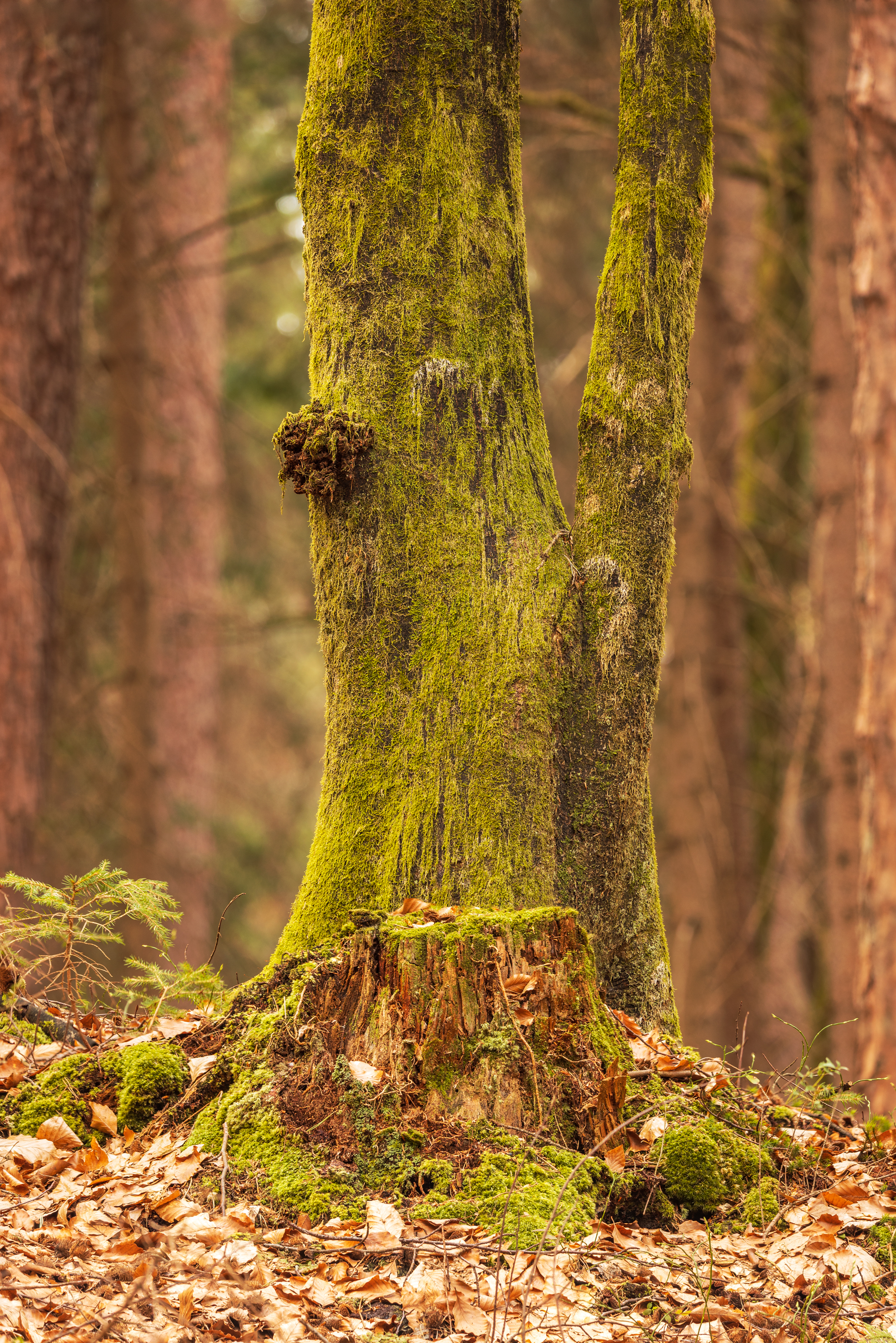 Lake Forstsee: mossy tree stump and beech tree